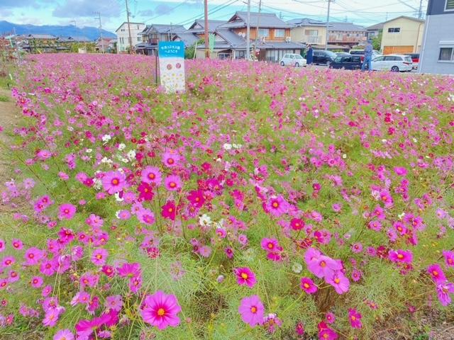コスモス(今浜町コスモス畑)