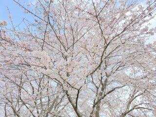 喜多の淡墨桜